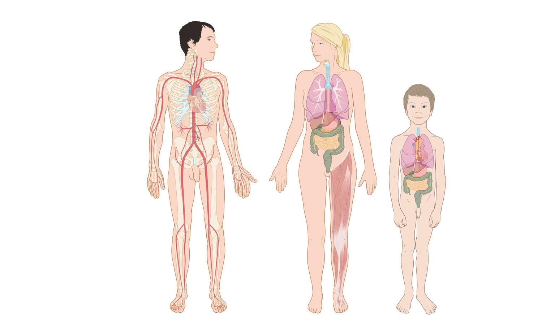 anatomie mens