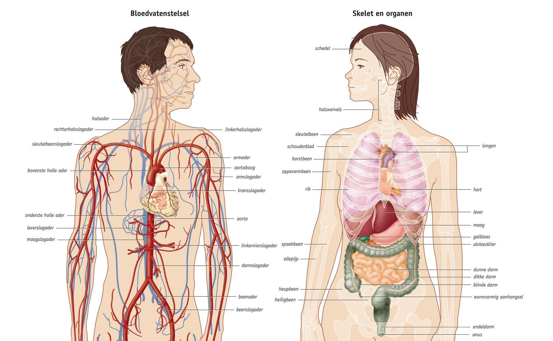 bloedsomloop organen