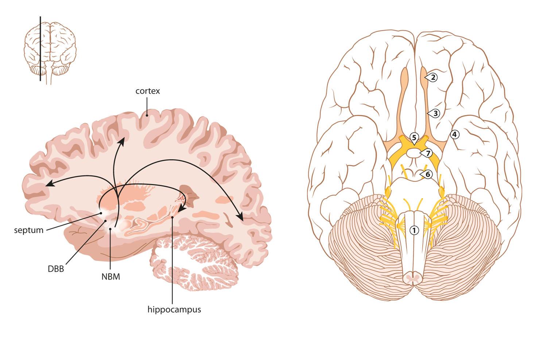 hersenen doorsnede